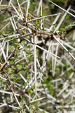 Acaciaehrenbergiana met scherpe lange witte doornen - portret Royalty-vrije Stock Foto