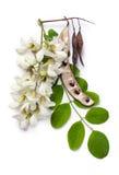 acaciaen blommar leaffrö Royaltyfria Bilder