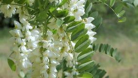 acaciaen blommar white arkivfilmer