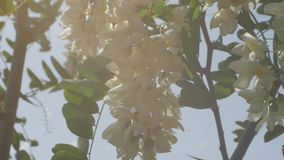 acaciaen blommar white lager videofilmer