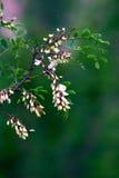 acaciaen blommar white royaltyfri bild