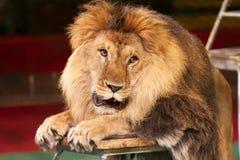 acaciaen döljer för middagståenden för lionen den ensamma sunen för kupa Royaltyfri Bild