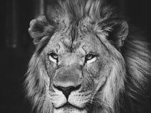 acaciaen d?ljer f?r middagst?enden f?r lionen den ensamma sunen f?r kupa royaltyfri foto
