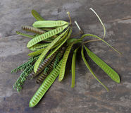 Acaciafruit royalty-vrije stock foto's