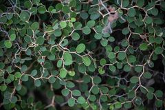 Acaciagreggii stock foto