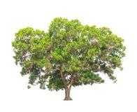 Acaciamangium, tropische boom in Thailand Stock Fotografie