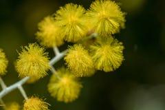 Acaciapodalyriifolia heeft gele bloemen, een gevoelige geur In een rond boeket van struiken stock afbeeldingen