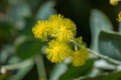 Acaciapodalyriifolia heeft gele bloemen, een gevoelige geur In een rond boeket van struiken stock fotografie