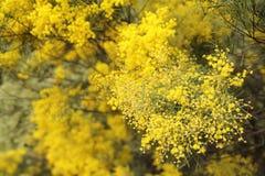 Acaciapycnantha Royalty-vrije Stock Afbeelding