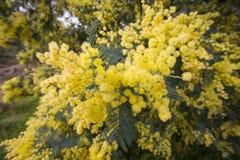 Acaciapycnantha, algemeen als de gouden acacia wordt bekend, is een boom die Stock Foto's