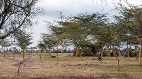 Acacias on the African savannah Royalty Free Stock Image