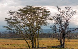 Acacias on the African savannah Stock Image