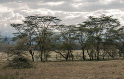 Acacias. On the African savannah of Kenya on a cloudy day royalty free stock image