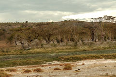 Acacias. On the African savannah of Kenya on a cloudy day royalty free stock photography