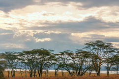 Acacias. On the African savannah of Kenya on a cloudy day, with a lake in the background royalty free stock images