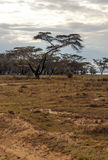 Acacias. On the African savannah of Kenya on a cloudy day, with a lake in the background. I´s a vertical picture stock photo