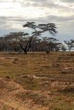 Acacias Stock Photo