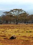 Acacias on the African savannah. Of Kenya on a cloudy day. You can see a Stone.It´s a vertical picture royalty free stock images