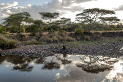 Acacias dans le serengeti Photo libre de droits