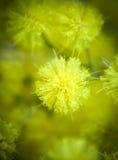 Acacias de las mimosas Foto de archivo