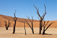 Acacias in deadvlei, Namibia Royalty Free Stock Images