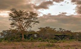 Acacias of kenya. Acacias on the African Savannah of Kenya on a cloudy day stock images