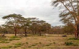 Acacias of kenya. Acacias on the African Savannah of Kenya on a cloudy day royalty free stock image