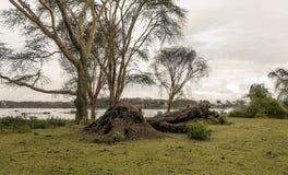 Acacias of kenya. Acacias with lake on the African Savannah of Kenya on a cloudy day stock photo