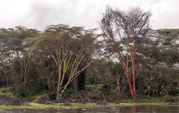 Acacias with river. On the African Savannah of Kenya on a cloudy day royalty free stock photos