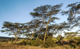 Acacias in the serengeti Royalty Free Stock Images