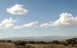 Acacias in the serengeti Stock Images