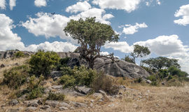 Acacias in the serengeti. With clouds in the sky, you can see some stones Stock Image