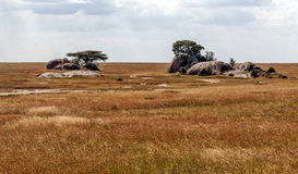 Acacias in the serengeti Stock Photos