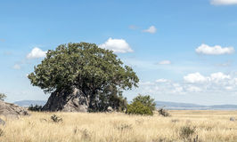 Acacias in the serengeti Stock Photo