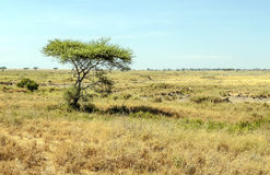 Acacias in the serengeti Royalty Free Stock Photography