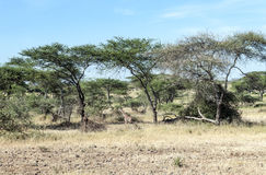 Acacias in the serengeti Royalty Free Stock Photo