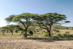 Acacias in the serengeti Stock Photography