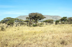 Acacias in the serengeti Royalty Free Stock Image