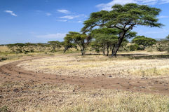 Acacias in the serengeti Stock Image