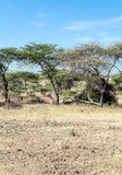 Acacias in the serengeti in vertical Stock Photo