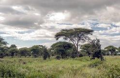 Acacias of Tanzania Stock Photos