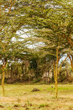 Acacias in vertical. Acacias on the African Savannah of Kenya on a cloudy day. It´s a vertical picture royalty free stock photos