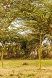 Acacias in vertical Royalty Free Stock Photos