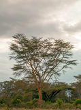 Acacias in vertical. Acacias on the African Savannah of Kenya on a cloudy day. It´s a vertical picture stock photos