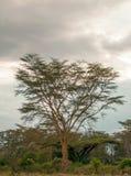 Acacias in vertical Stock Photos