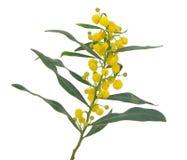 Acaciasaligna stock afbeeldingen