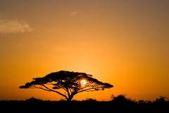 acaciasoluppgångtree arkivfoton