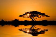 acaciasoluppgångtree Arkivfoto