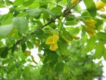 Acaciastruik in bloei royalty-vrije stock afbeelding