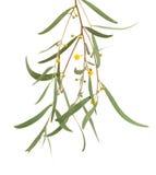 Acaciatakje op wit wordt geïsoleerd dat stock afbeelding